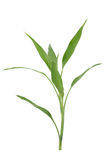 Bamboo on a white Stock Photography