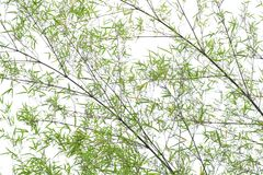 Bamboo on white background. Bamboo green leaves on white background Stock Images