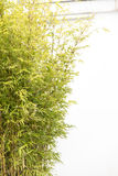 Bamboo and white wall Royalty Free Stock Photo