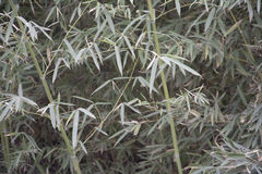 Bamboo. The winter has not withered bamboo Royalty Free Stock Photo