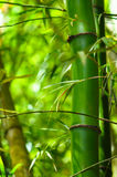 Bamboo wood forest. Bamboo wood in tropical forest - close up Stock Photo