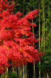Bamboo woods and red maple tree, Kyoto Japan Stock Image