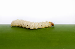 Bamboo worm , Royalty Free Stock Photos