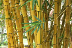 Bamboo. A yellow clump of bamboos green leaves Stock Photos