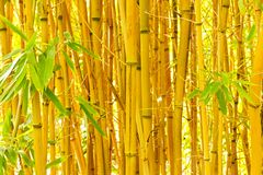 Bamboo. Yellow bamboo grows in the garden, background from bamboo trunks Royalty Free Stock Photos