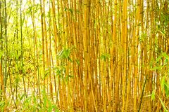 Bamboo. Yellow bamboo grows in the garden, background from bamboo trunks Stock Photos
