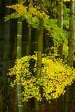 Bamboo with yellow leaves Royalty Free Stock Photo