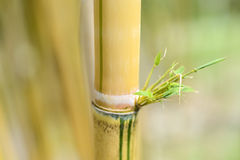 Bamboo yellow Royalty Free Stock Photos