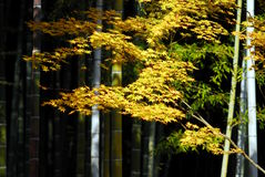 Bamboo yellow maple Royalty Free Stock Photography