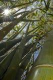 Bamboos. Stock Photo