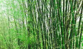 Bamboos Stock Photography