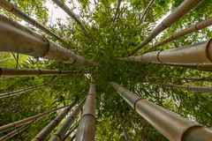 Bamboos Forest in the South of France. A rich 150 years history... from 1856 to present day, this extraordinary garden or bamboo forest, with  bamboos up to 25 Royalty Free Stock Photo