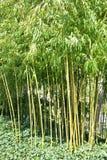 Bamboos in a garden Stock Photography