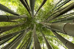 Bamboos growing skyward. A rich 150 years history... from 1856 to present day, this extraordinary garden or bamboo forest, with  bamboos up to 25 Metres tall and Royalty Free Stock Photos