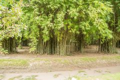 Bamboos include some of the fastest-growing plants in the world. Giant bamboos are the largest members of the grass family. Asia and East Asia, being used for royalty free stock photo