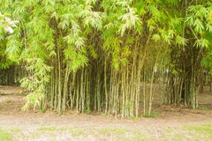 Bamboos include some of the fastest-growing plants in the world. Giant bamboos are the largest members of the grass family. Asia and East Asia, being used for stock photo