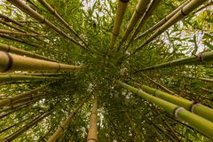 Bamboos Jungle of Anduze. A rich 150 years history... from 1856 to present day, this extraordinary garden or bamboo forest, with  bamboos up to 25 Metres tall Royalty Free Stock Image