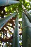Bamboos are of notable economic and cultural signi Stock Photo