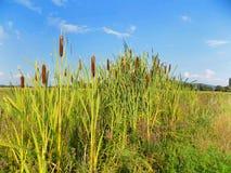 Bamboos Stock Photo