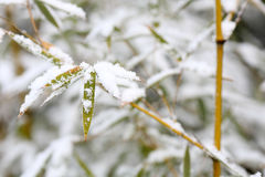 Bamboos and snow Stock Images