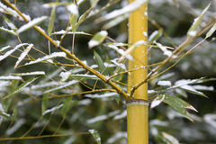 Bamboos and snow Royalty Free Stock Photography