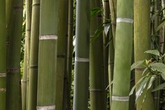 Bamboos Thicket Curtain. A rich 150 years history... from 1856 to present day, this extraordinary garden or bamboo forest, with  bamboos up to 25 Metres tall and Stock Photography