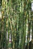 Bambou photo stock