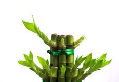 Bambou chanceux Photographie stock libre de droits