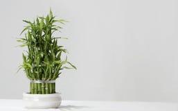 Bambou chanceux japonais Images libres de droits