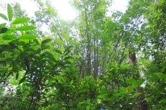 Bambou dans la forêt sauvage ensoleillée de jungle en Asie de l'Est photographie stock libre de droits