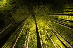 Bambou de Kodaiji allumé la nuit image stock