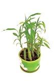 Bambou domestique image stock