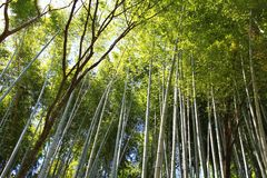Bambou du Japon Image stock