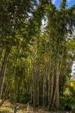 Bambou du sud de la Floride Photographie stock