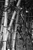 Bambou en noir et blanc Photos libres de droits