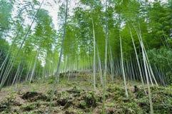 Bambou forrest Photo libre de droits