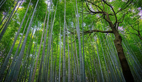Bambou forrest Photo stock