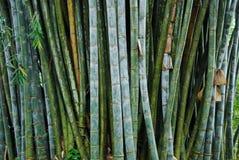 Bambou géant dans les jardins botaniques royaux, Kandy, Sri Lanka Photos libres de droits