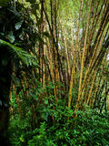 Bambou jaune en bambou mûr Photographie stock libre de droits