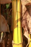 Bambou jaune et belle Ligne Verte dans le verger en bambou Images libres de droits