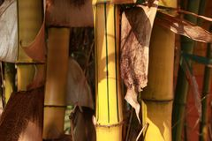 Bambou jaune et belle Ligne Verte dans le verger en bambou Image stock