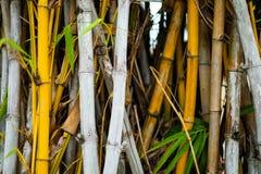 Bambou jaune et blanc avec la forêt verte de feuille au Japon - nature image stock