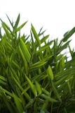 Bambou nain Images libres de droits