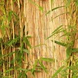 Bambou ornemental frais avec une barrière en bambou Photo stock