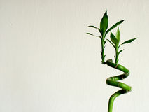 Bambou vert Image stock