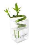 Bambou vert photo libre de droits