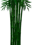 Bambou vert au printemps et automne à l'arrière-plan blanc Illustration Stock