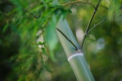 Bambou vert-foncé Photo libre de droits