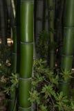 Bambou vert-foncé géant Photo libre de droits