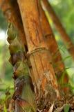 Bambou vulgaris photographie stock libre de droits